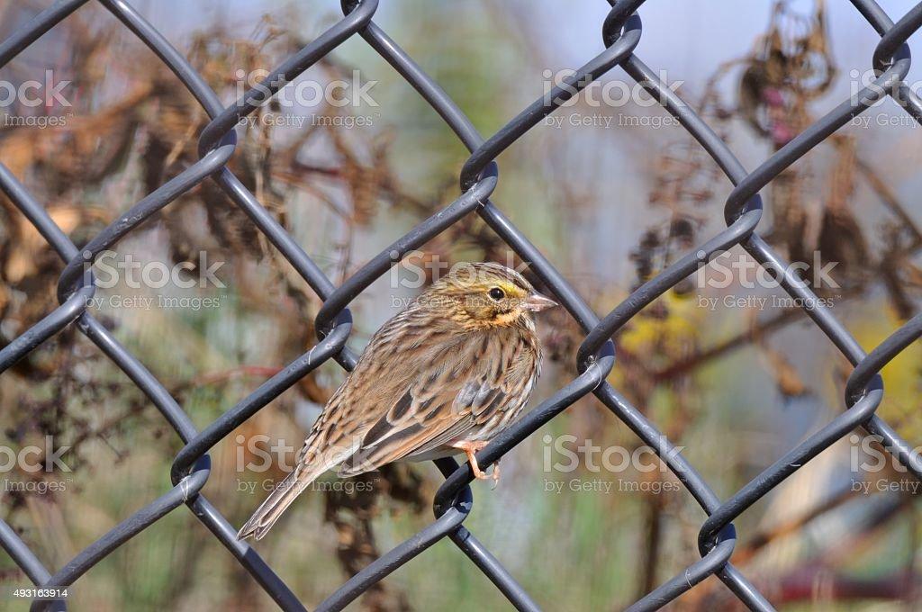 Savannah Sparrow On Fence stock photo