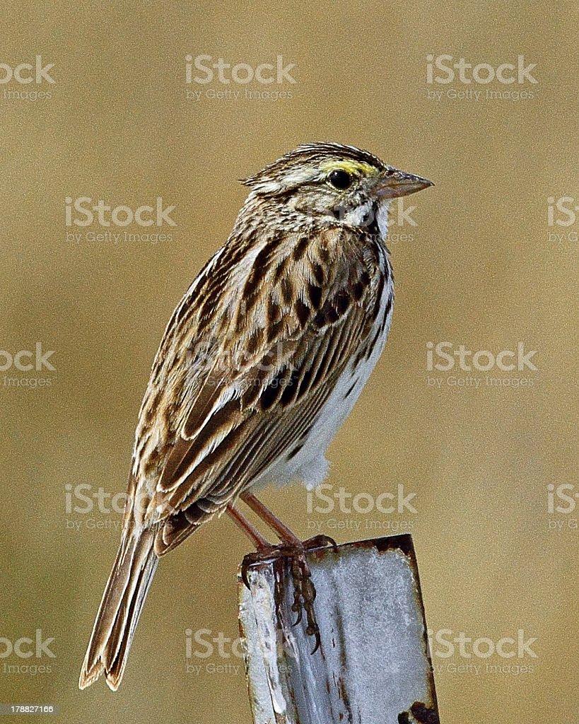 Savannah Sparrow on Metal Fence Post stock photo