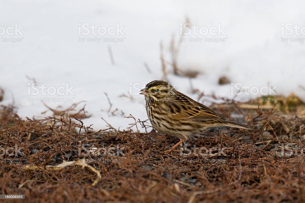 Savannah Sparrow (Passerculus sandwichensis) on Winter Morning stock photo