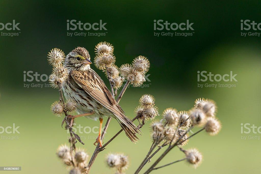 Savannah Sparrow - Passerculus sandwichensis stock photo