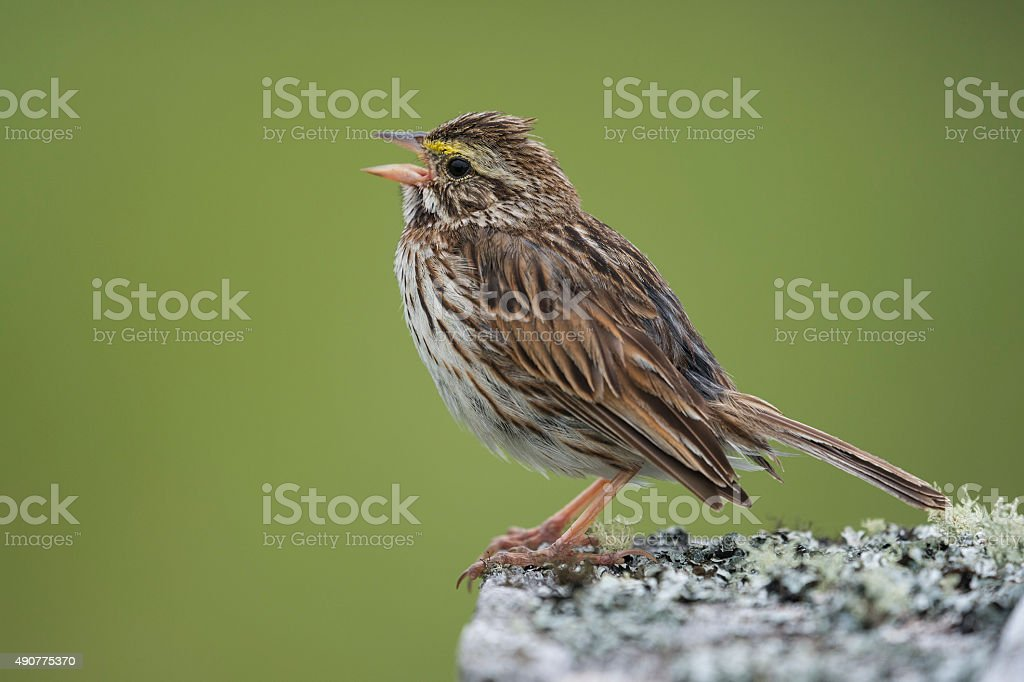 Savannah sparrow, Passerculus sandwichensis, singing bird stock photo