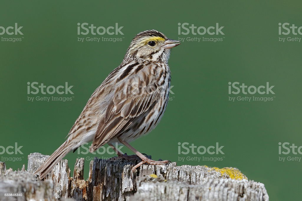 Savannah Sparrow perched on a fence post - Ontario, Canada stock photo