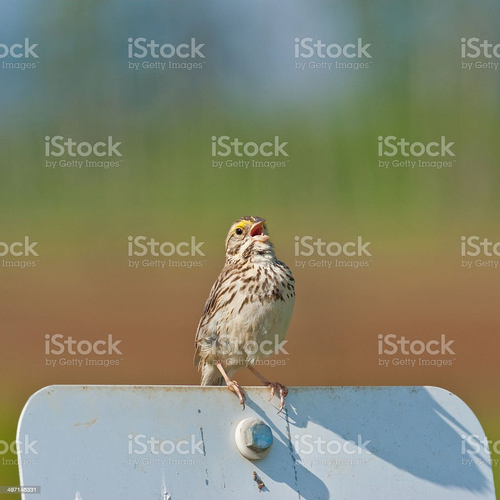 Savannah Sparrow Perched on a Sign stock photo