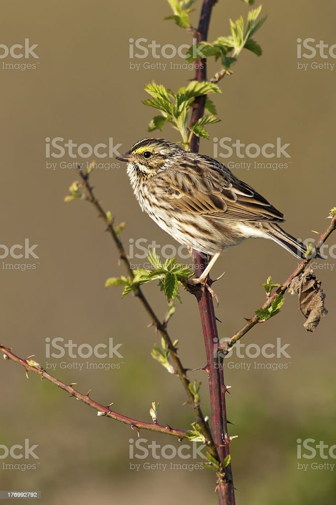 Savannah Sparrow stock photo