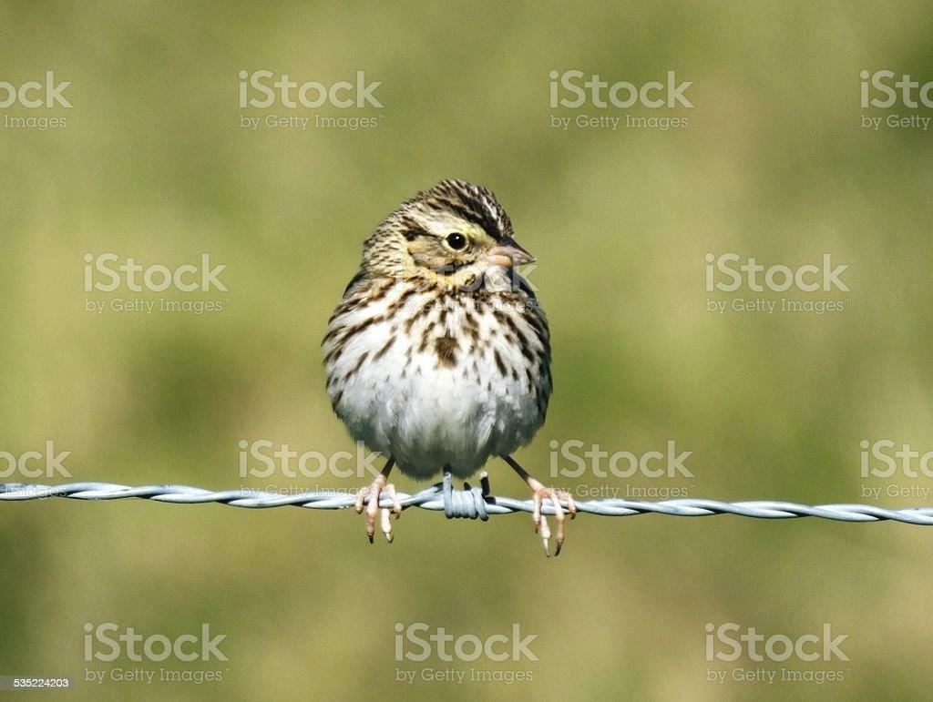 Savannah Sparrow (Passerculus sandwichensis) stock photo