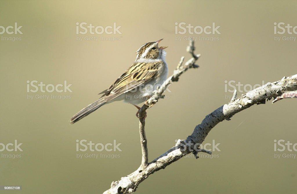 Savannah Sparrow royalty-free stock photo