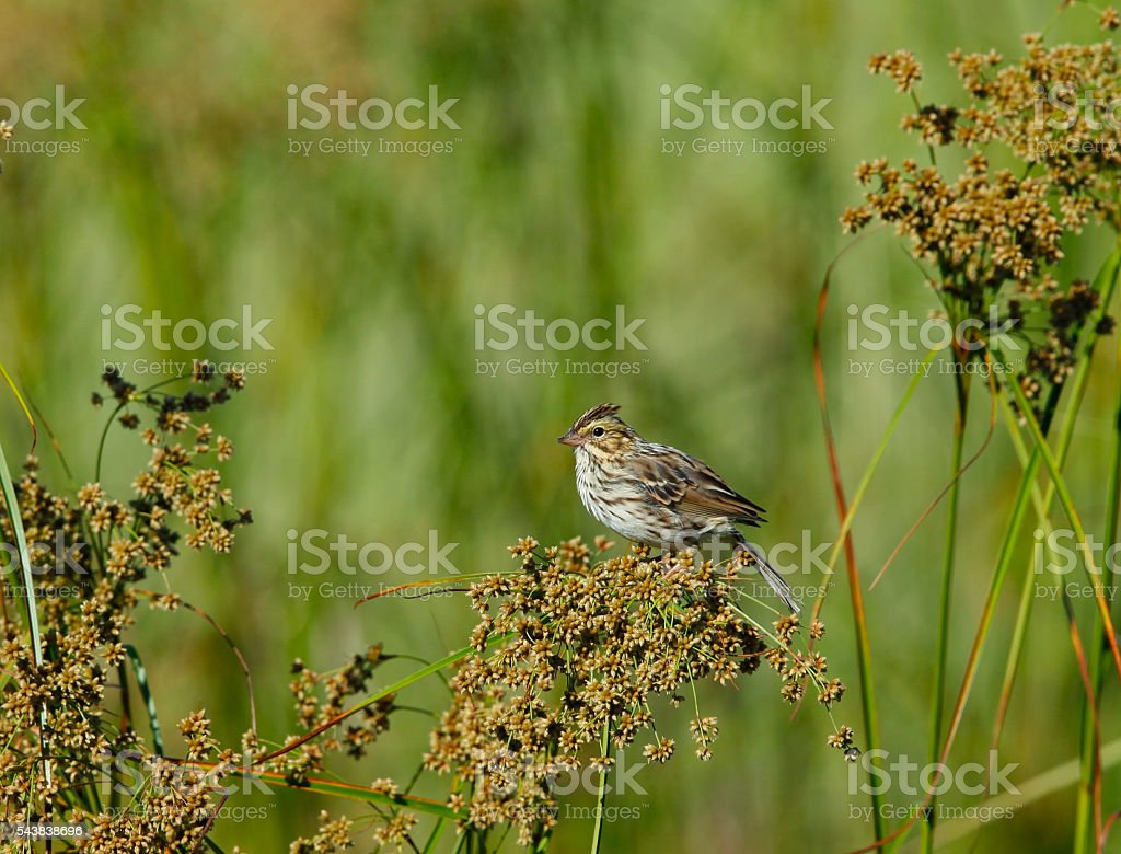 Savannah Sparrow Raised Crown in Cape May New Jersey stock photo