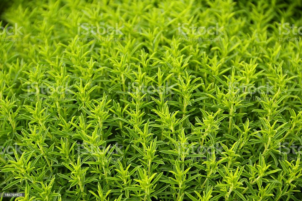 Savory - Satureja montana stock photo