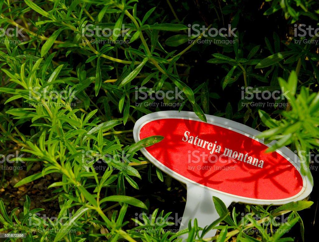 Savory, satureja montana stock photo