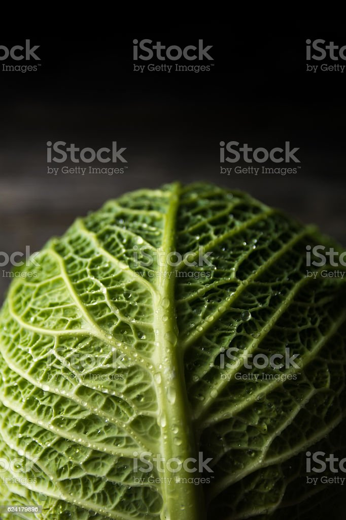 Savoy Cabbagehead with Water Drops stock photo