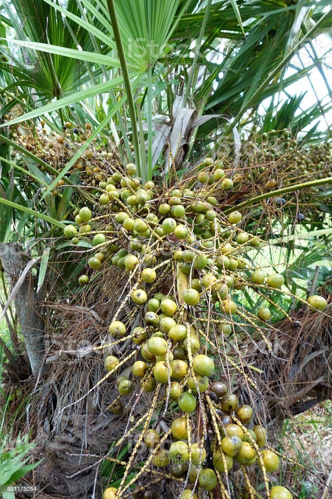 Saw palmetto berries stock photo