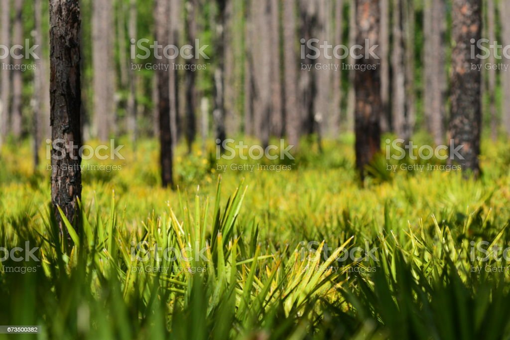 Saw Palmetto frond fingers in pine forest understory stock photo