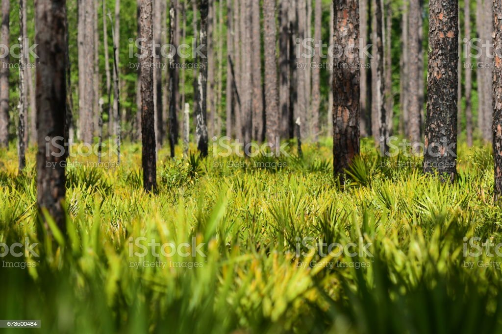 Saw Palmetto fronds in understory of pine forest stock photo