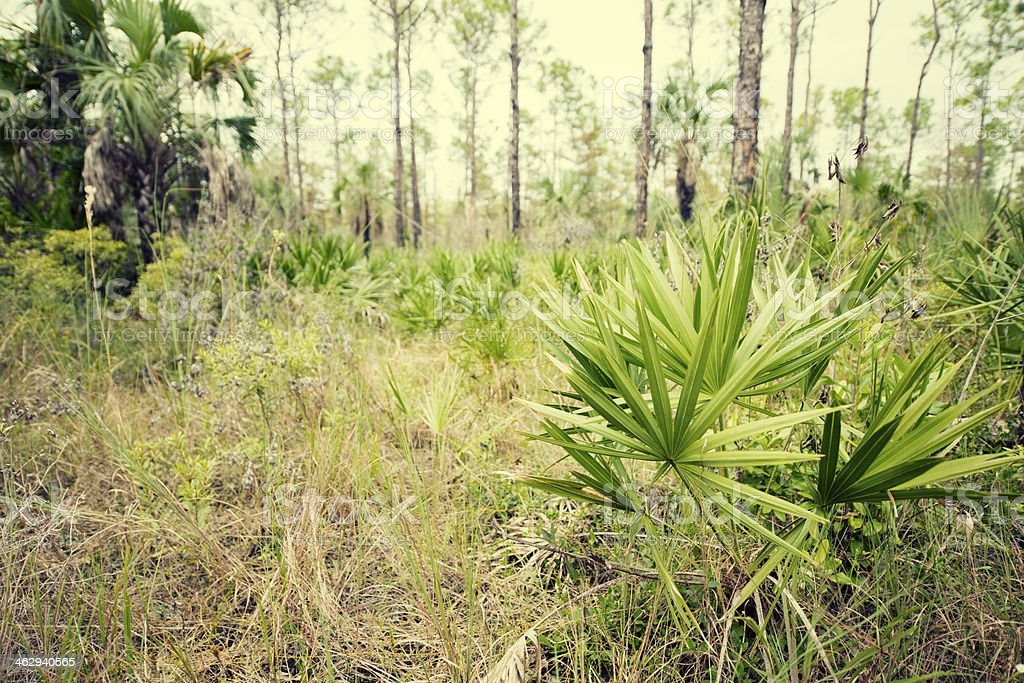 Saw Palmetto in Florida Everglades Forest royalty-free stock photo