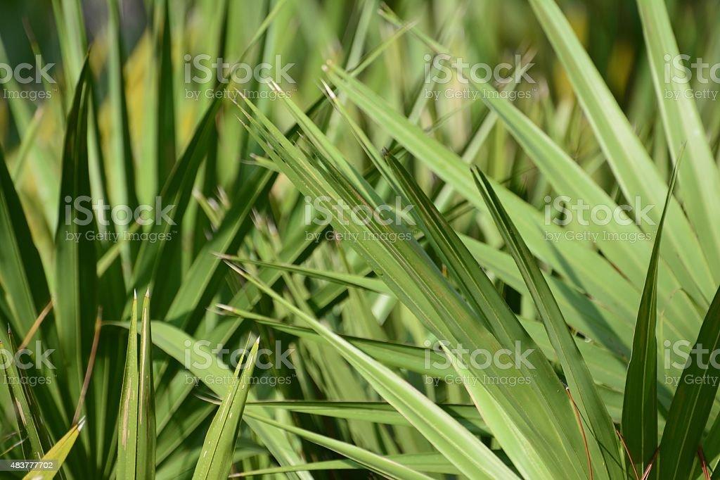 Saw palmetto jungle stock photo