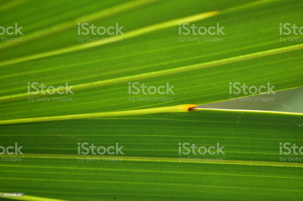 Saw palmetto leaf finger junction close up stock photo