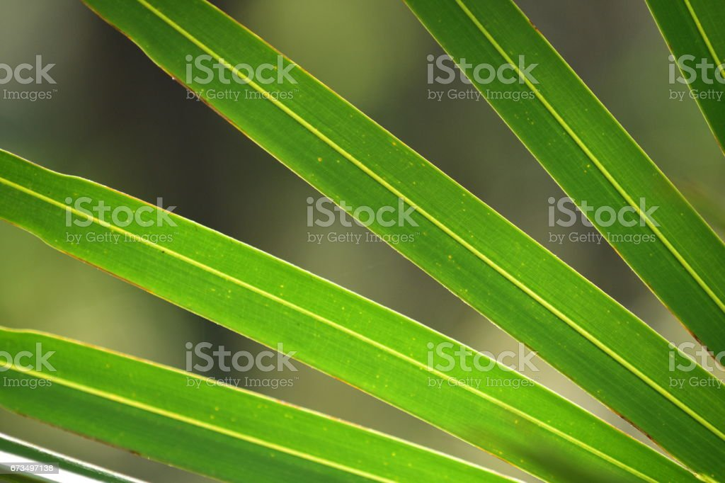Saw palmetto leaf fingers diverging stock photo