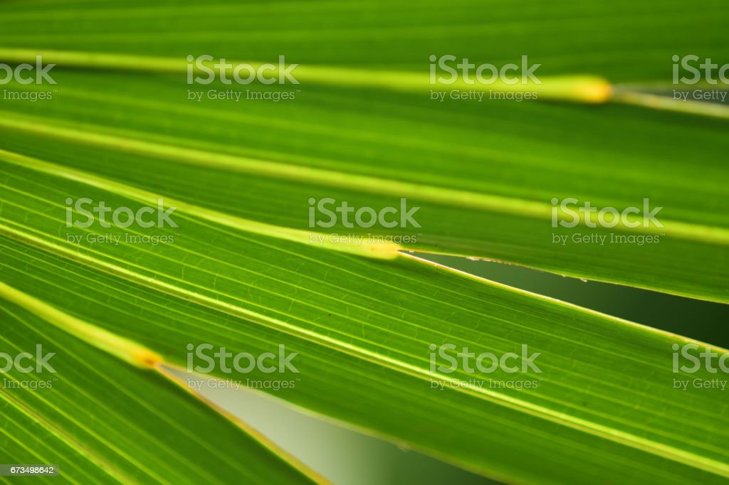 Saw palmetto leaf junction close up stock photo