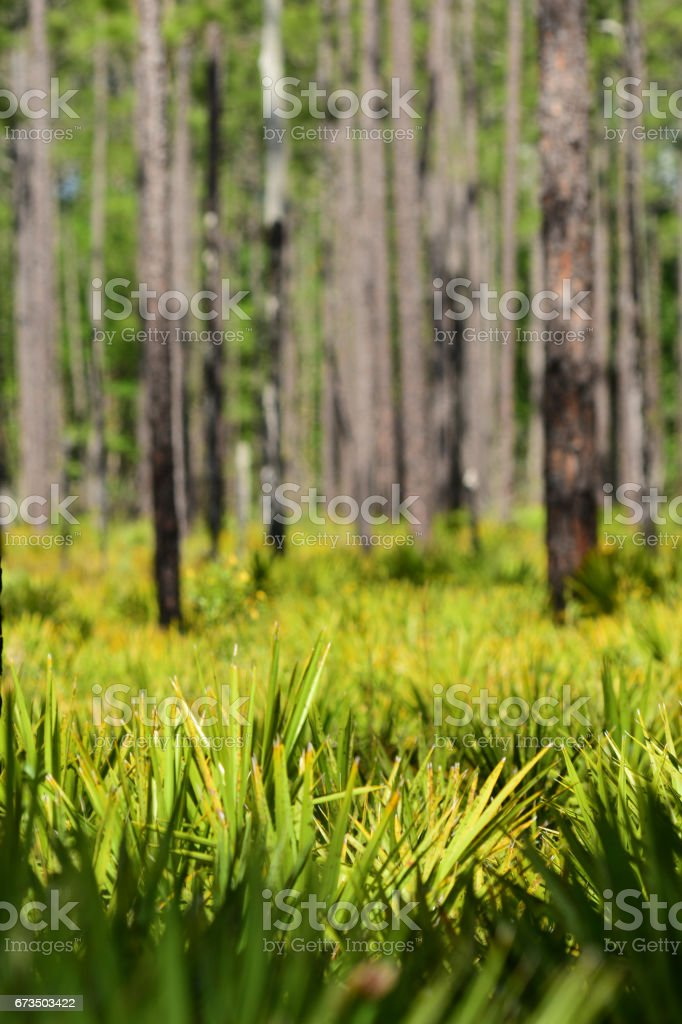 Saw Palmetto leaves poking up in pine forest understory stock photo