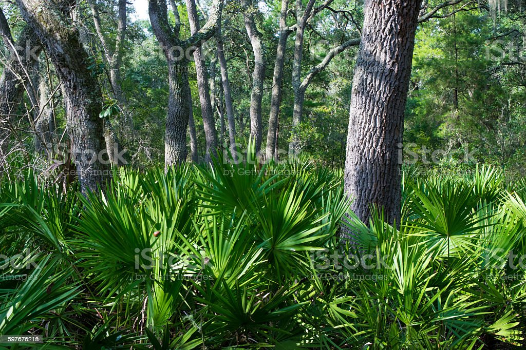 Saw Palmetto Scrub Forest stock photo