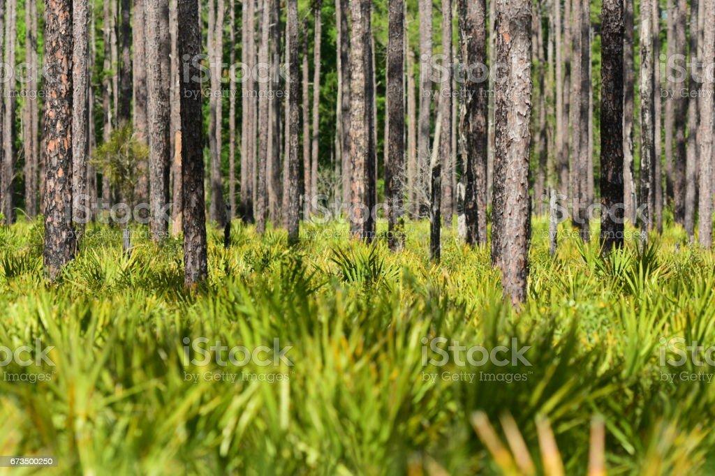 Saw Palmetto understory slash pine forest stock photo