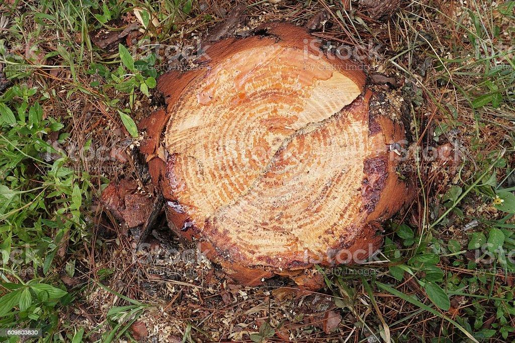 Sawn off pine tree stump stock photo