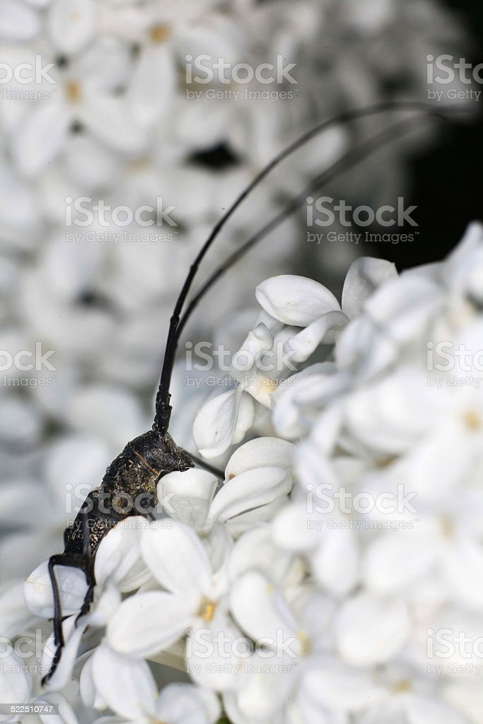 sawyer beetle on daisy stock photo