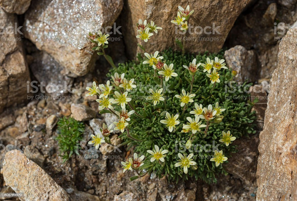 saxifraga bryoides yellow flowers stock photo
