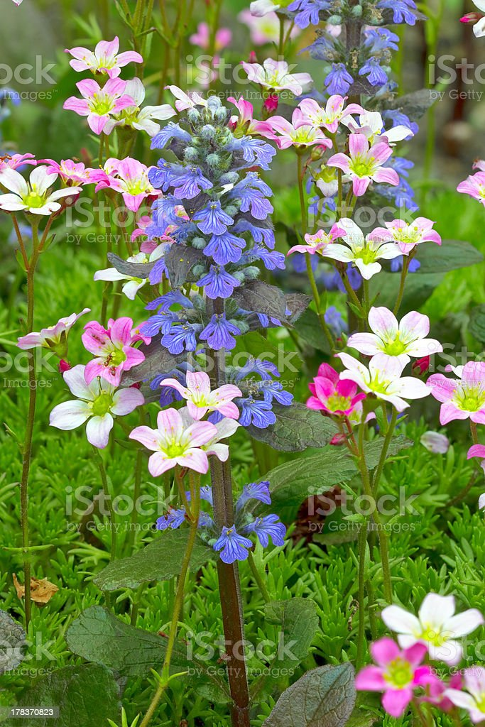 Saxifraga paniculata and bugle flowers royalty-free stock photo