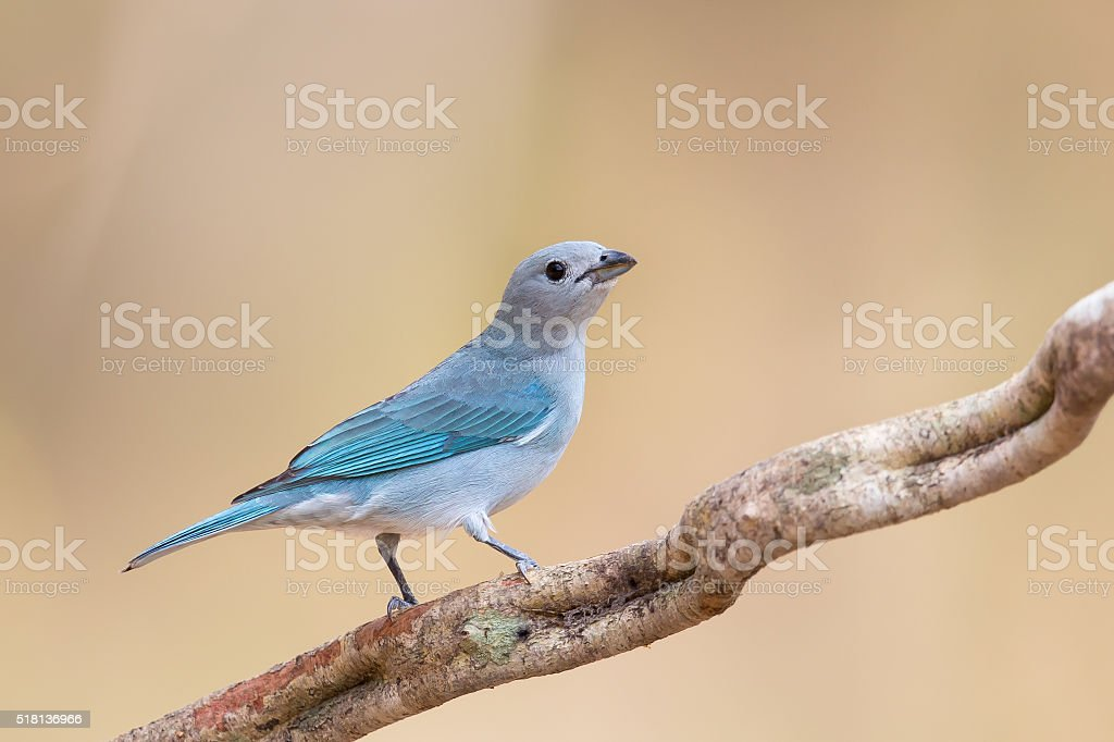 Sayaca Tanager perched on a vine stock photo