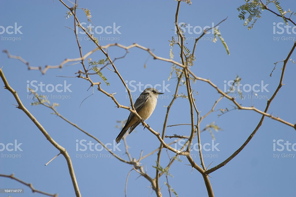 Say's Phoebe stock photo