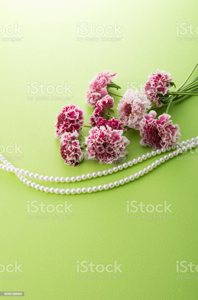 scabiosa flowers and pearl necklace stock photo