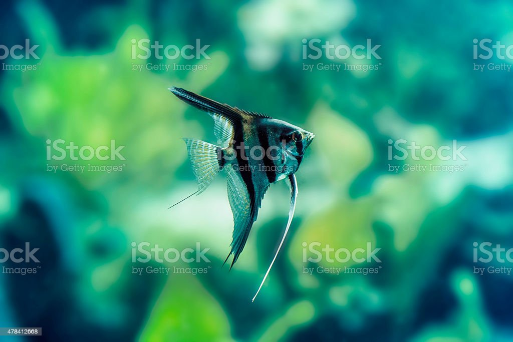 Scalar goldfish stock photo