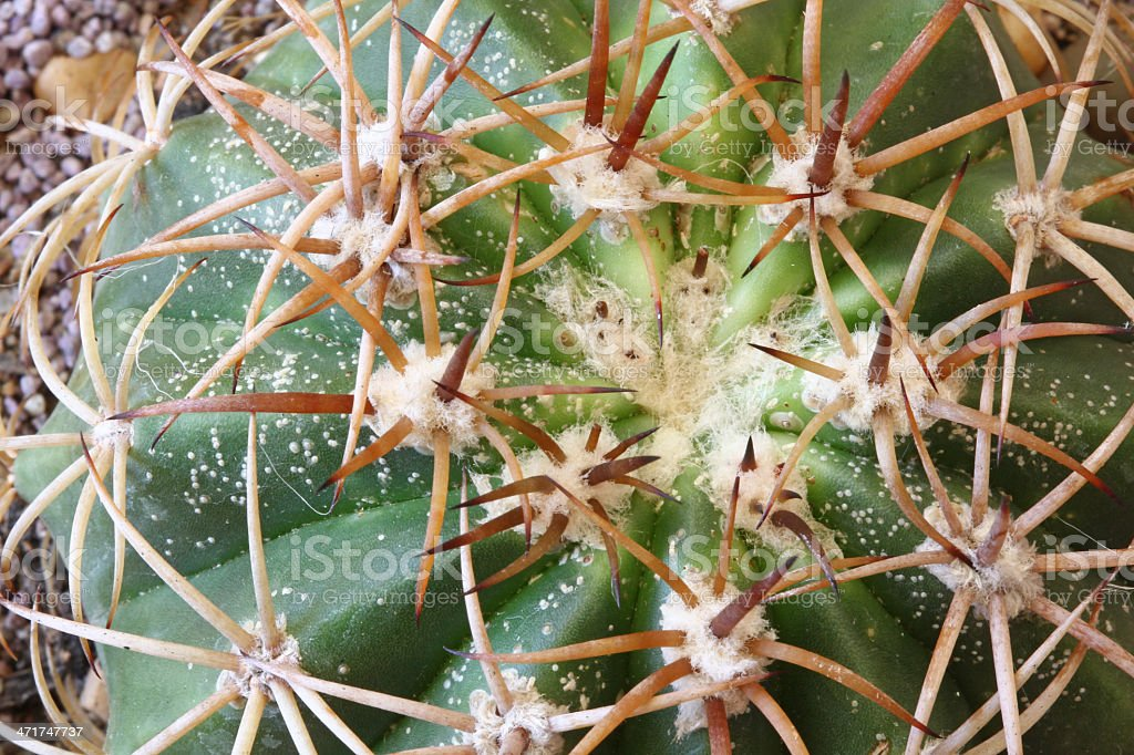 Scale Insects all over Cactus stock photo