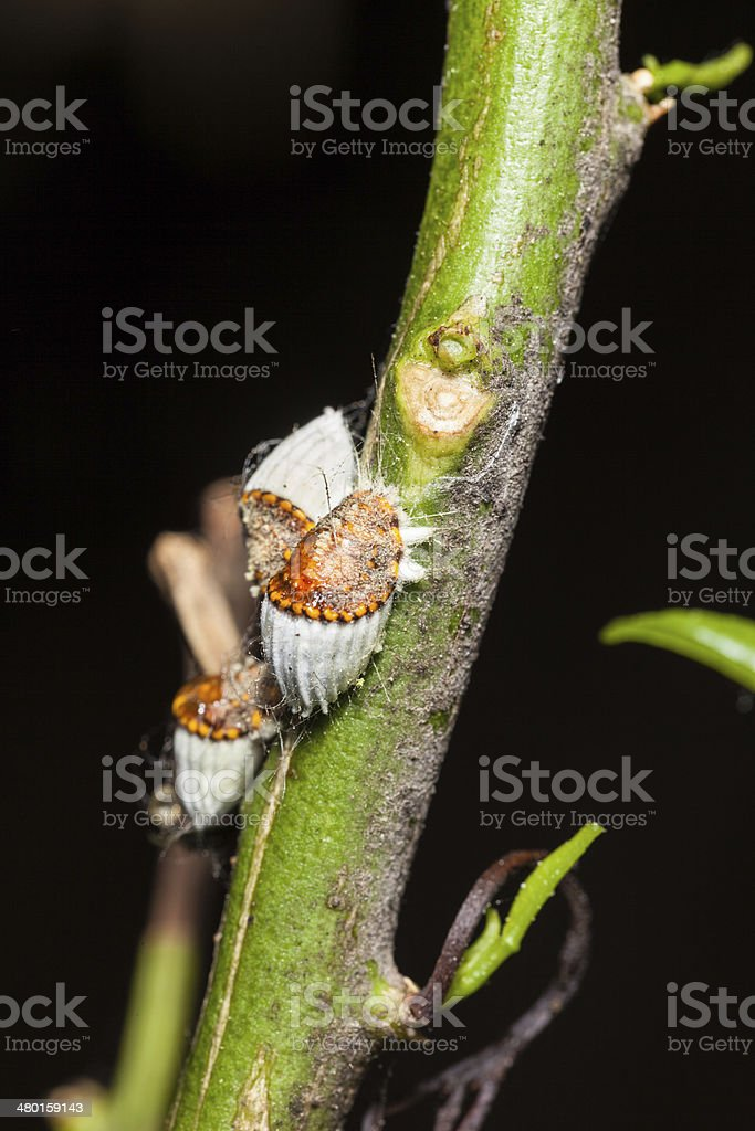 Scale insects stock photo