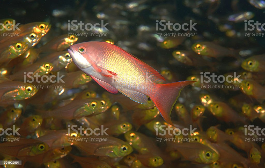 Scalefin Anthias with Golden Sweepers stock photo
