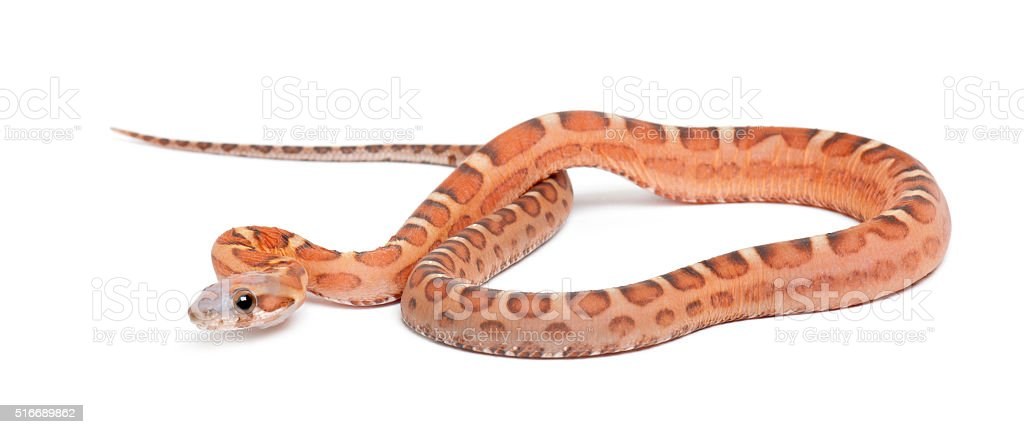 Scaleless Corn Snake, Pantherophis guttatus guttatus, against white background stock photo