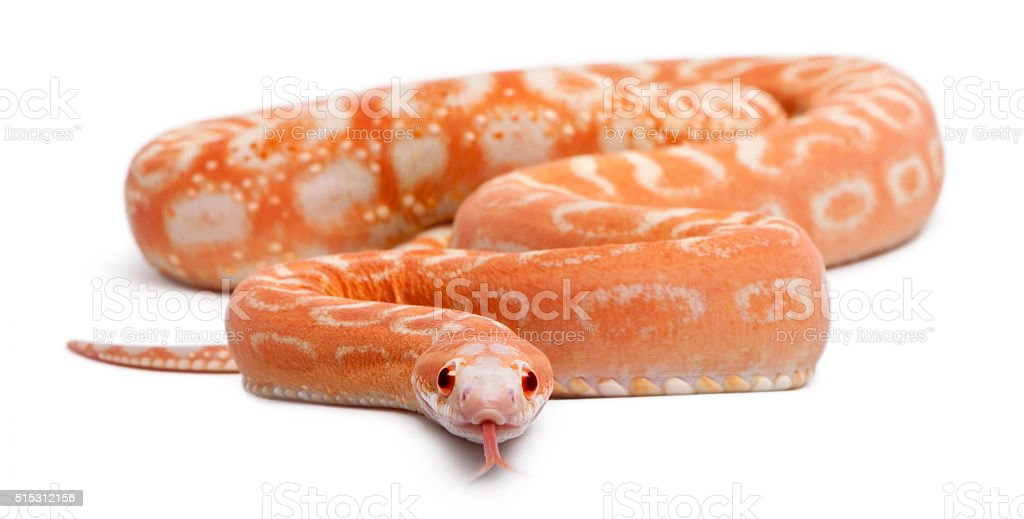 Scaleless Corn Snake, Pantherophis Guttatus, in front of white background stock photo