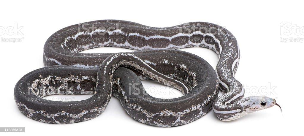 Scaleless Corn Snake, Pantherophis Guttatus, white background. stock photo