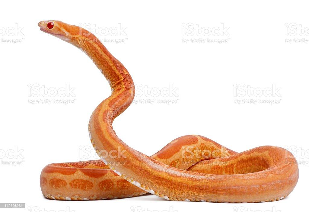 Scaleless Corn Snake, Pantherophis Guttatus, white background stock photo