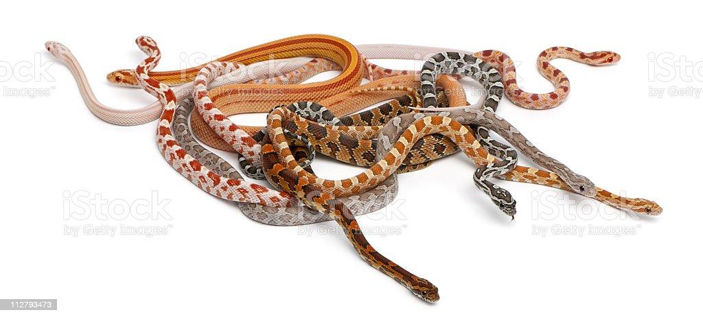 Scaleless Corn Snakes, Pantherophis Guttatus, white background. stock photo