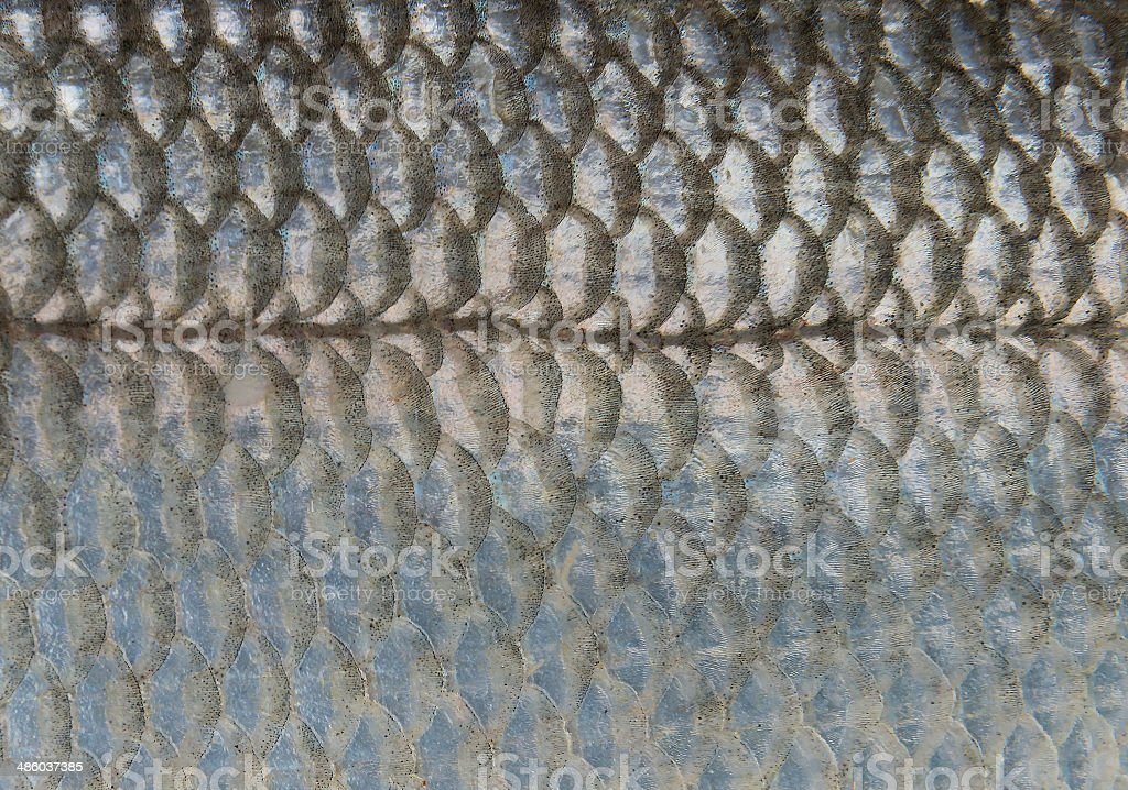 Scales of fish (Sea Bass), close up stock photo
