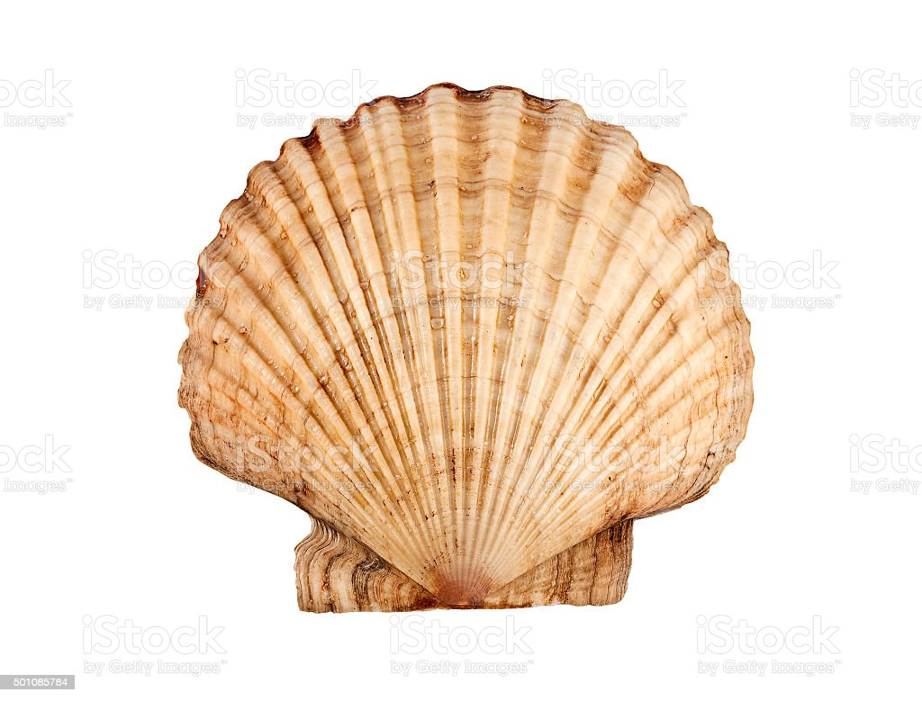 Scallop. stock photo