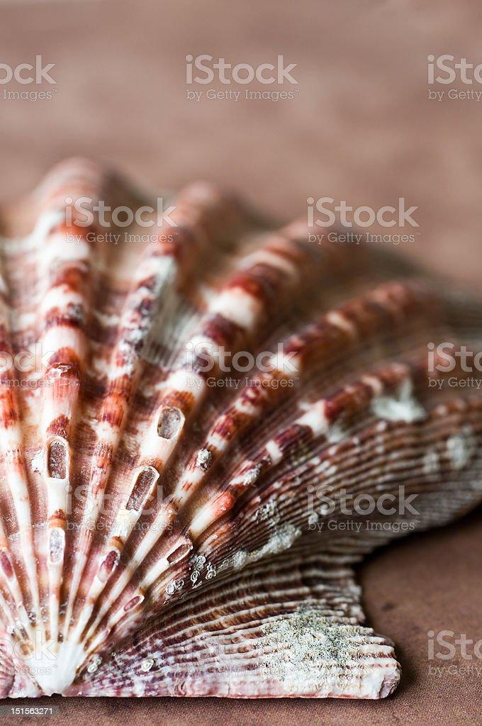 Scallop Shell Closeup royalty-free stock photo