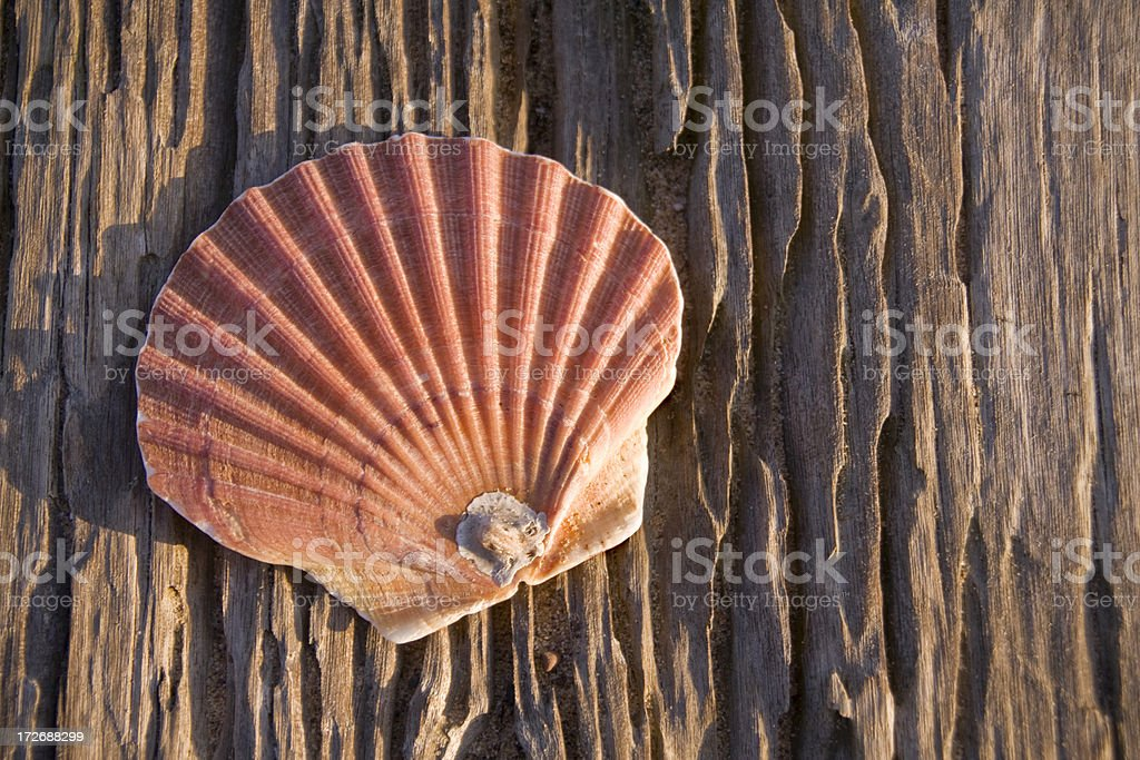 Scallop shell on weathered wood royalty-free stock photo