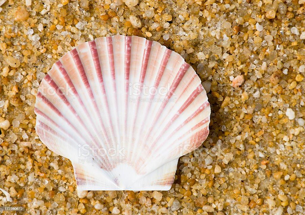Scallop Shell stock photo