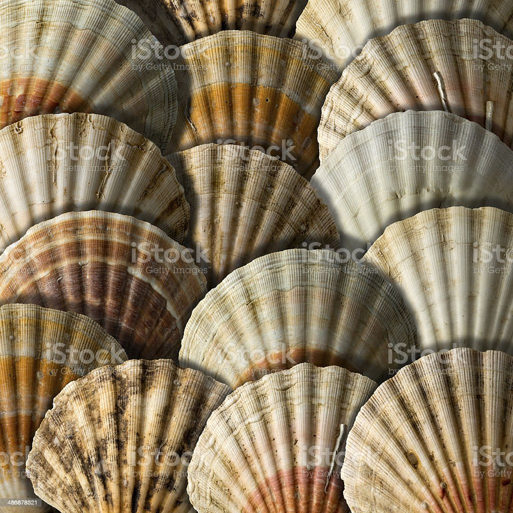 Scallop Shells Background stock photo
