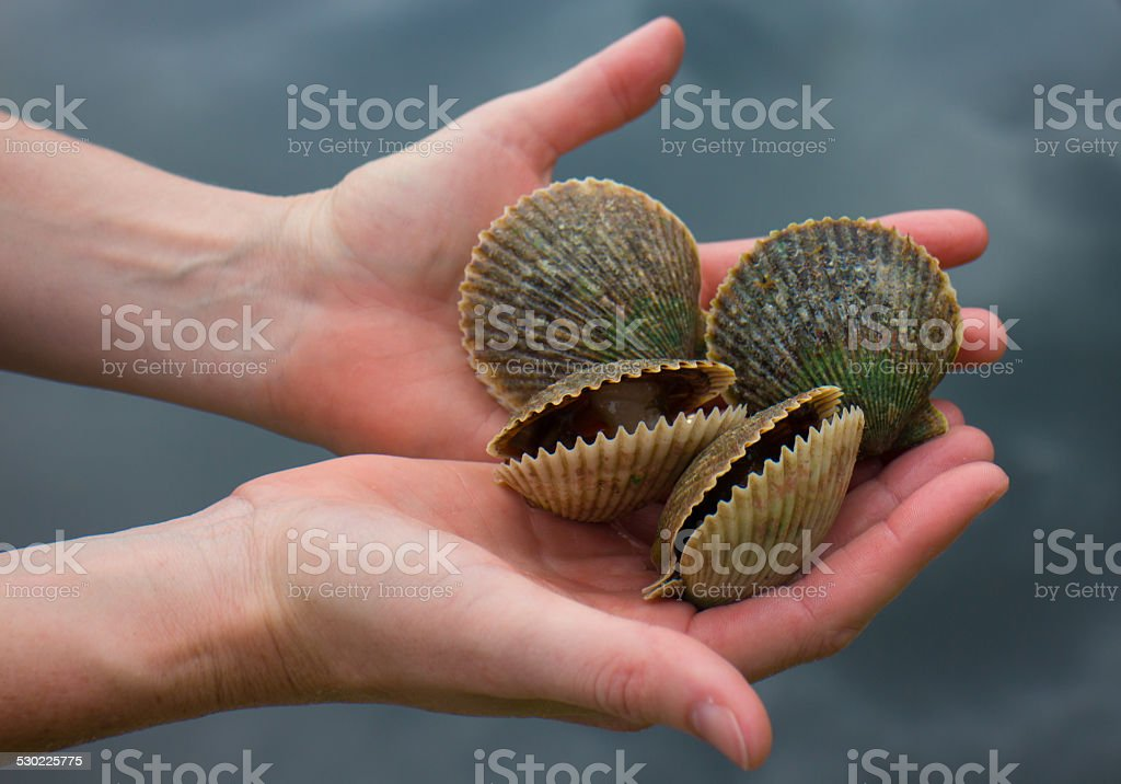 Scallop shells in hands stock photo