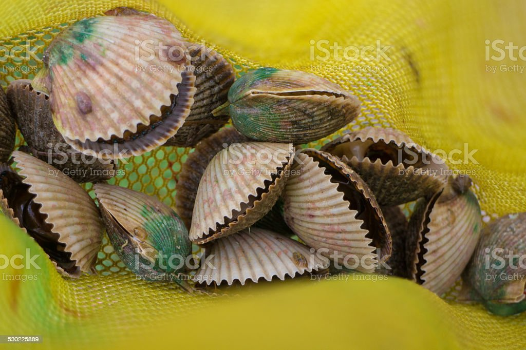 Scallop shells in net. stock photo
