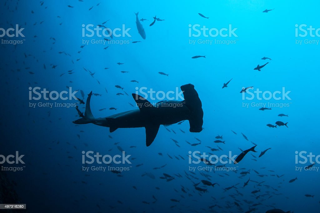 Scalloped Hammerhead Shark stock photo